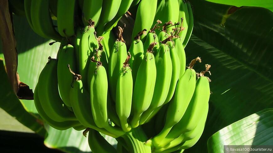 Бананчики- везде.