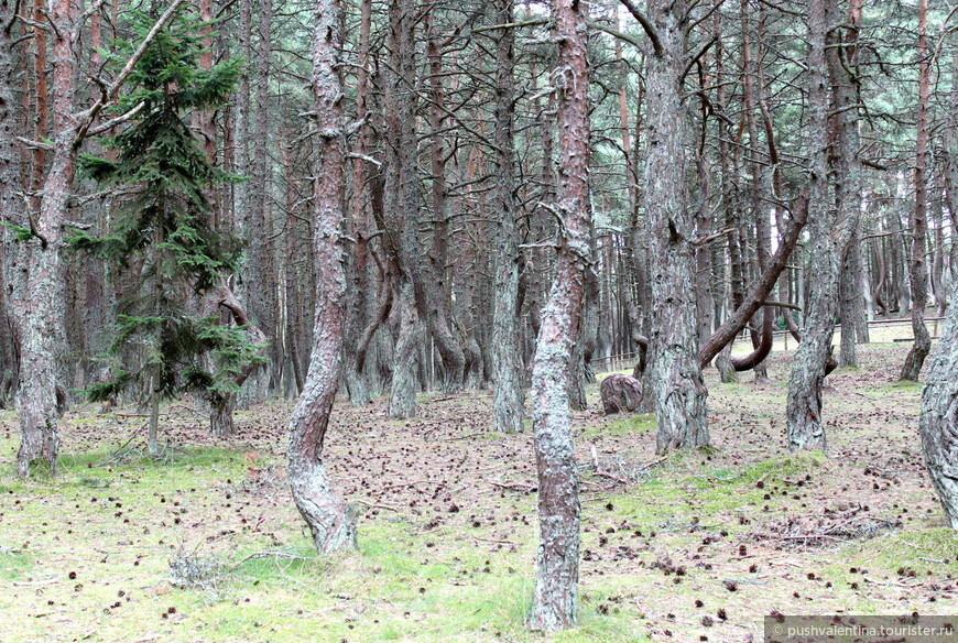 Сосновый лес посажен в 1961 г. для укрепления песков Куршской косы.