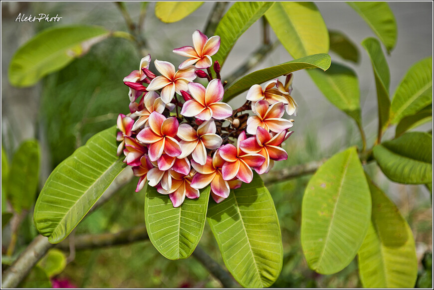 Вот за что люблю еще Таиланд - такие классные цветы посреди зимы. Просто заглядишься. Какой контраст после слоновьего зада...