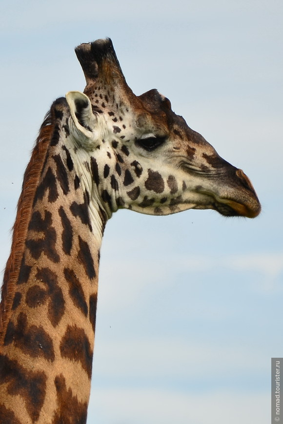 Масайский жираф. Кения, национальный парк.