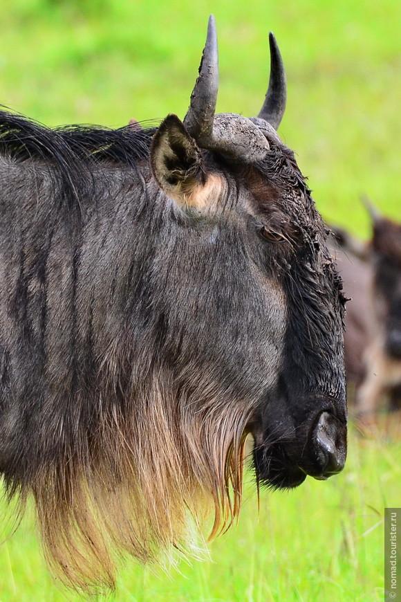 Голубой гну. Кения, национальный парк.