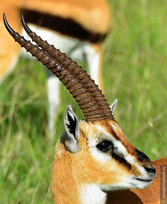 Газель Томсона. Кения, национальный парк.