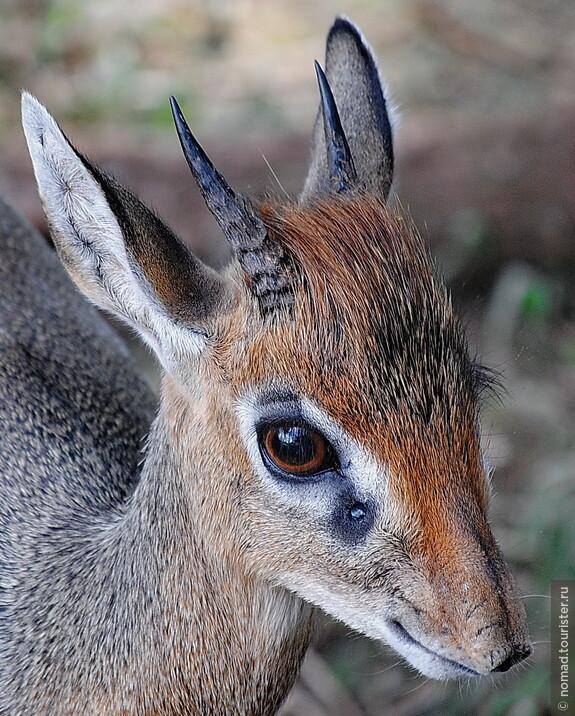 Обыкновенный дикдик. Танзания, национальный парк.