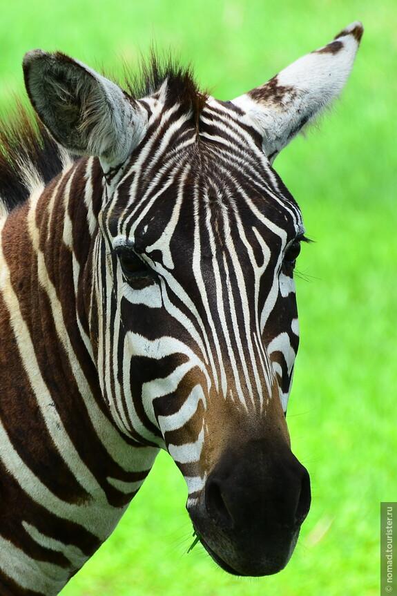 Бурчеллова зебра. Кения, национальный парк