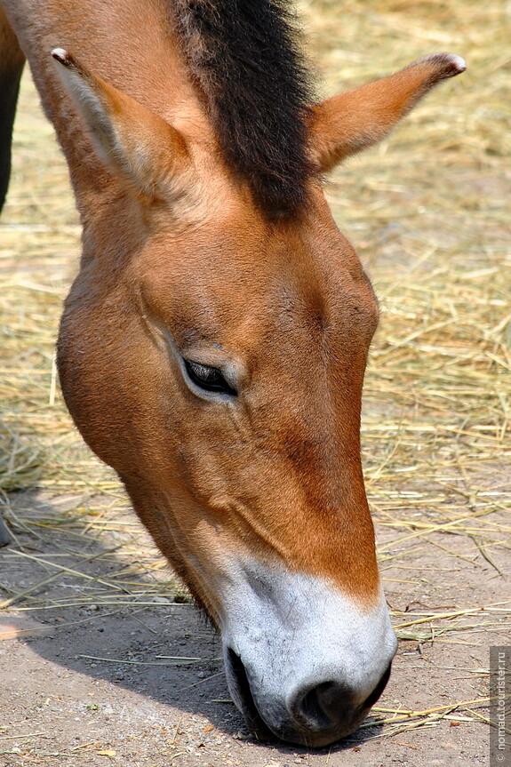 Лошадь Пржевальского. Пражский зоопарк.