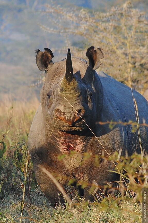 Чёрный носорог. Кения, национальный парк.