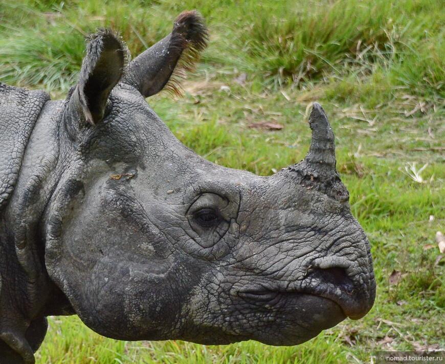 Индийский носорог. Непал, национальный парк. Со зверями - закончили... Но есть еще птицы... )))
