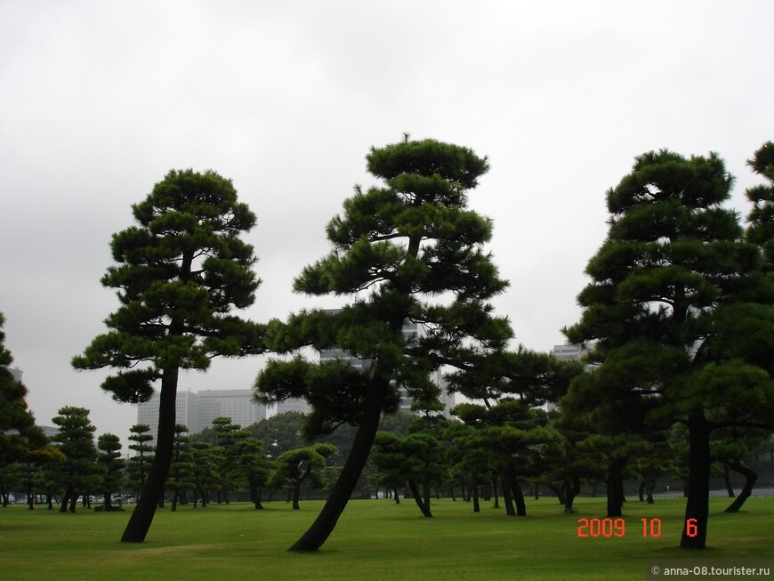 Черные японские сосны.