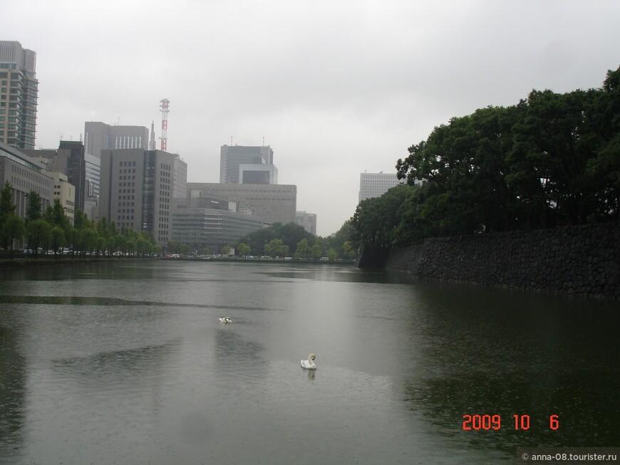 Лебедям дождь не мешает