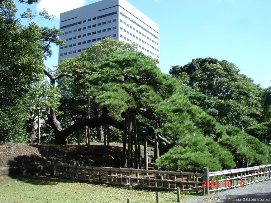 Главная достопримечательность парка - 300-летняя сосна. Эта черная сосна (куромацу) была посажено в 1709 году, когда шестой сёгун династии Токугава переделывал этот парк для себя.