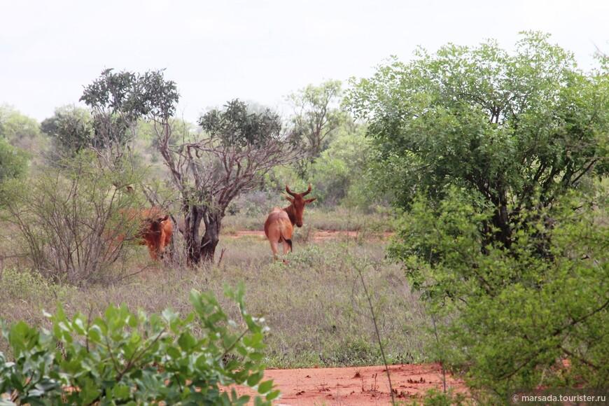 антилопы - их будет много, разных видов