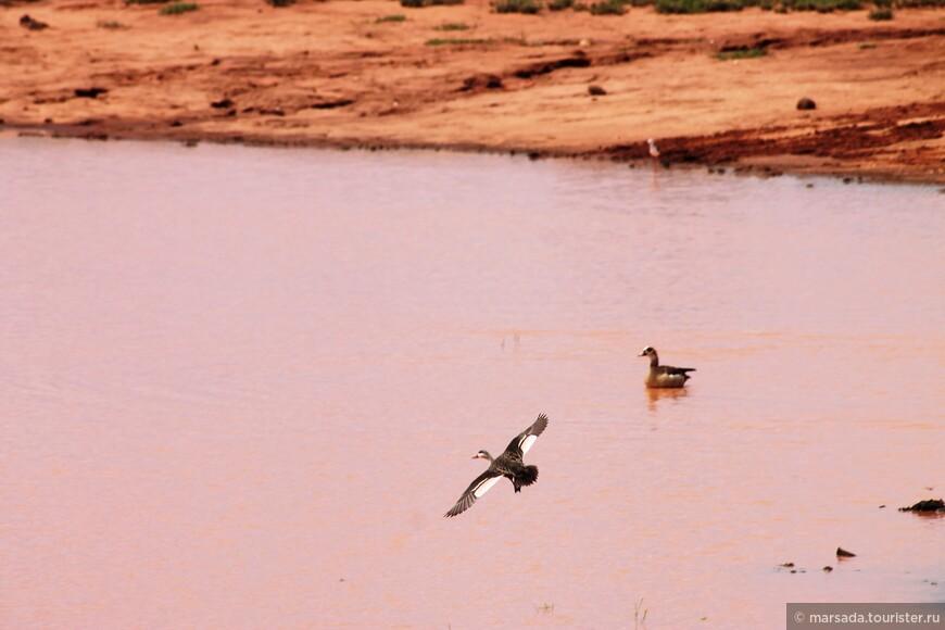 я думаю это обычные утки - но они так смешно приземляются в лужу! С разгона на лапах!