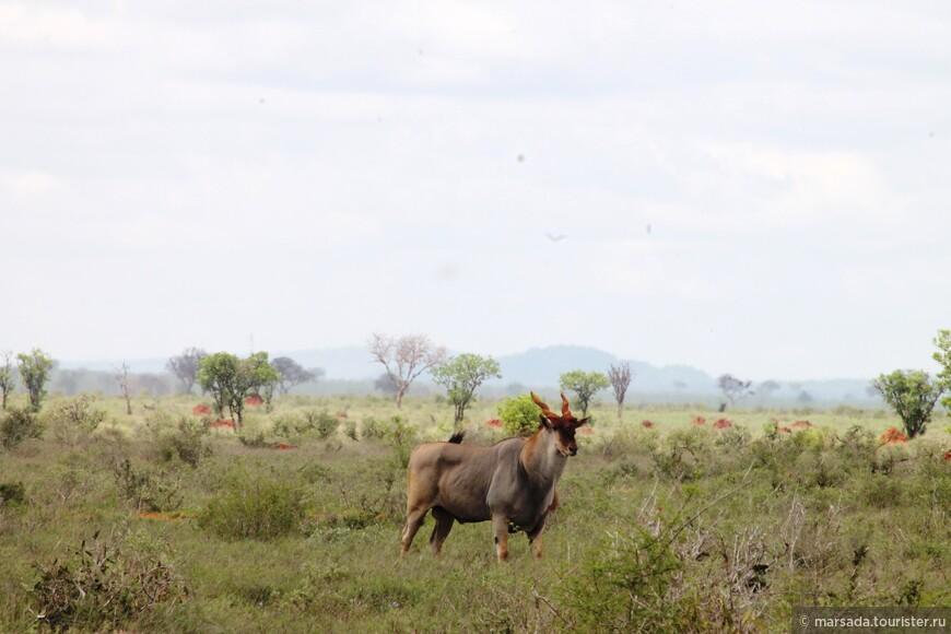 это самые большие антилопы в мире