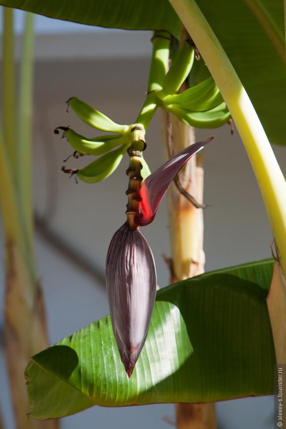 Цветущие бананы