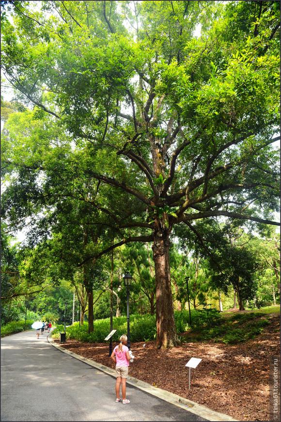 В саду растут исполинские  вековые деревья. Как не залюбоваться таким экземпляром!