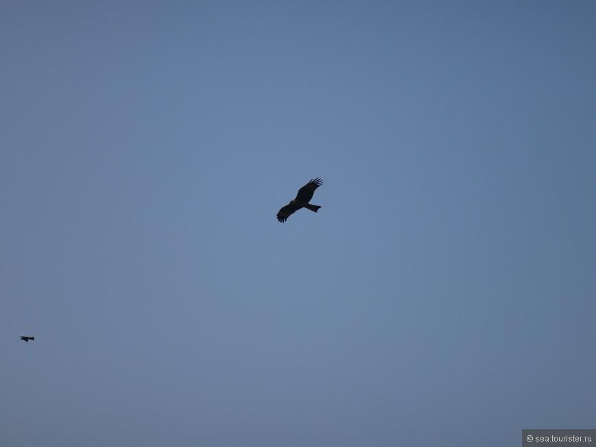 Гоанский орел