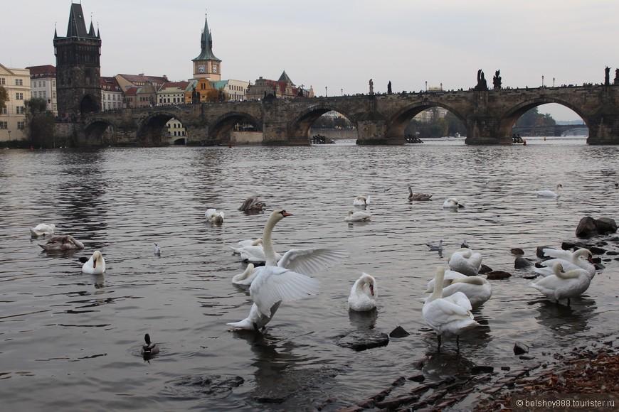Будете в Праге обязательно покормите местных лебедей.И фото красивые сделаете и получите массу удовольствия!!!