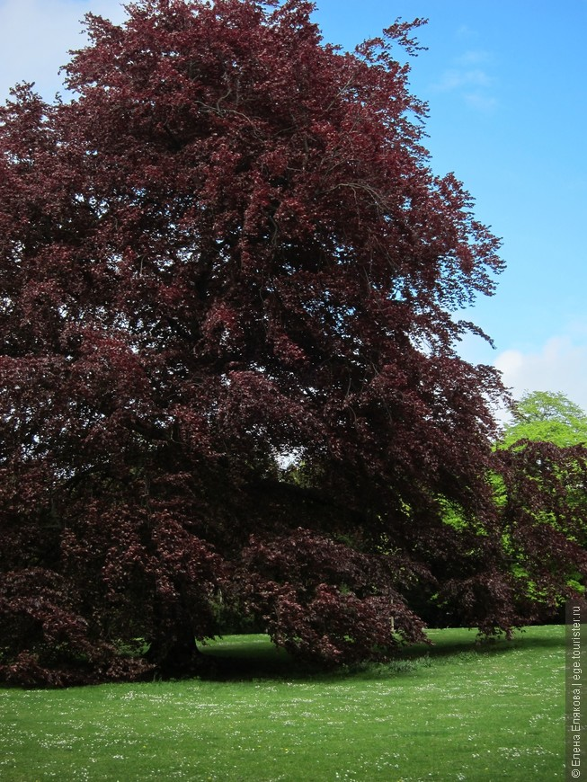 Сиреневое дерево