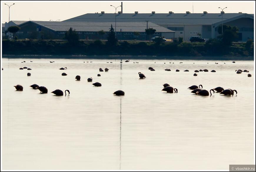 Фламинго прилетающие зимовать на соленое озеро Ларнаки. До этого мы их никогда в дикой природе не видели!