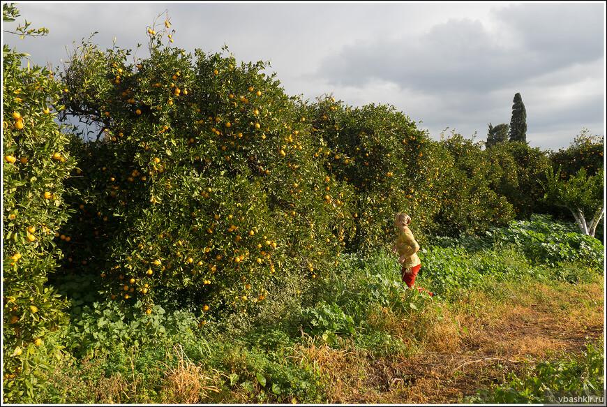 Аня идет сорвать апельсин с дерева.
