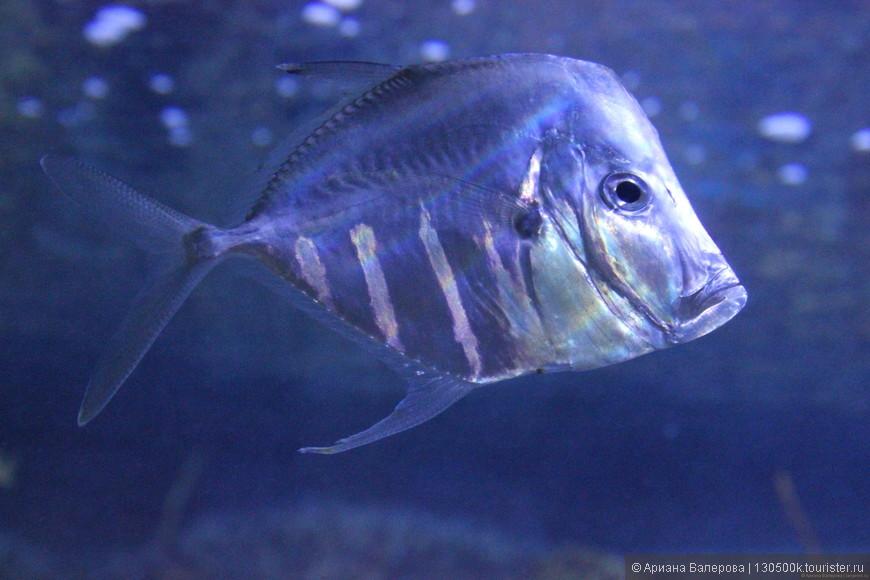 Серьезная рыба)) чудные обитатели океанариума Pacific (Long Beach) CA