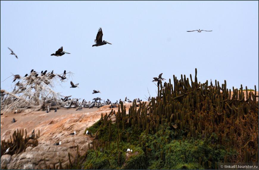 Пеликаны, пеликаны и еще раз пеликаны.