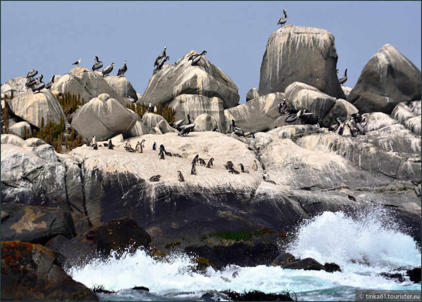 Весь островок облеплен пеликанами, чайками и  совсем малюсенькими пингвинами Гумбольдта.