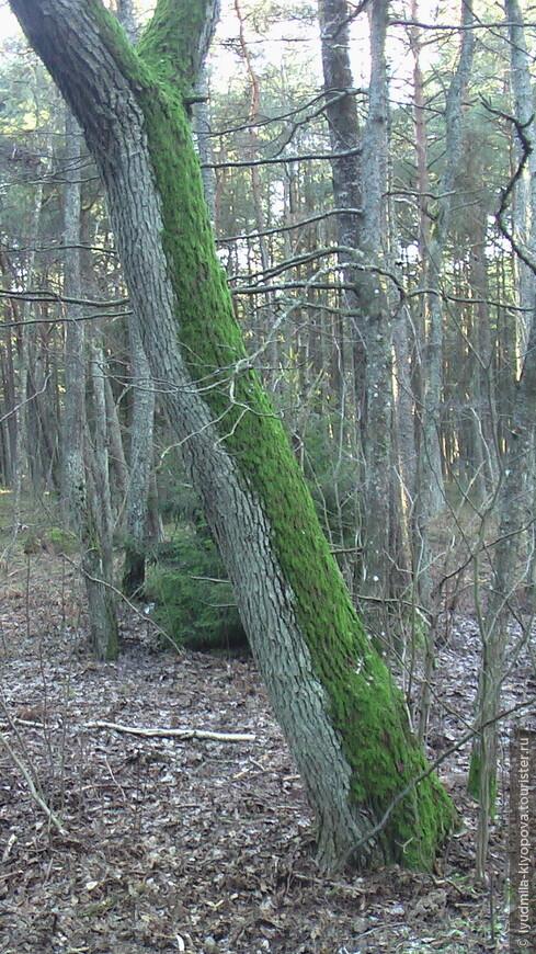 Лес на Куршской косе рукотворный. Почва песчаная, подвижная, неплодородная, слабый растительный покров на ней образовывался столетиями. Один из немногих видов растительности, не только выносящей такие сложные условия, но и укрепляющей подвижные пески дюн – горная сосна. Сосны высажены, как в парке, рядами. Здесь, как нигде, хорошо видно, как по виду деревьев можно определить, где север, а где юг: от холодных северных ветров со стороны открытого Балтийского моря они укрыты густым мхом.