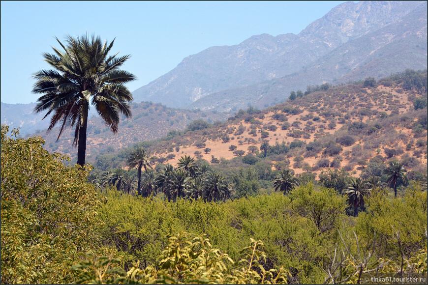 Здесь растут представители Чилийской пальмы. Целые пальмовые рощи.