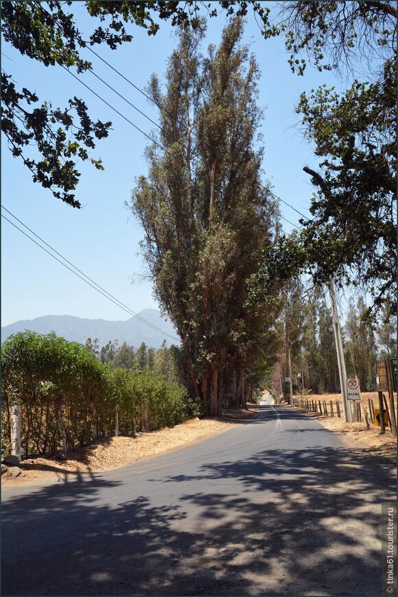 Тополя вдоль дороги - тоже один из растиражированных пейзажей средней полосы Чили.