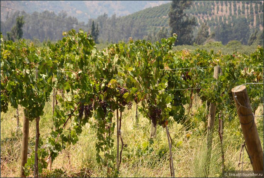 Виноград уже созревает. В марте начнутся праздники сбора винограда Вендимии.