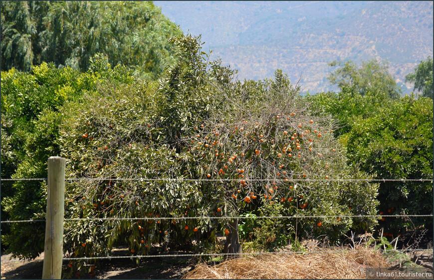 Абрикосы уже созрели. В Чили они называются  дамаскос.