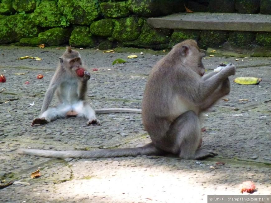 знаменитые обезьянки в парке в городе Убуд