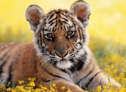 Китайские зоопарки продают тигриный ус на удачу