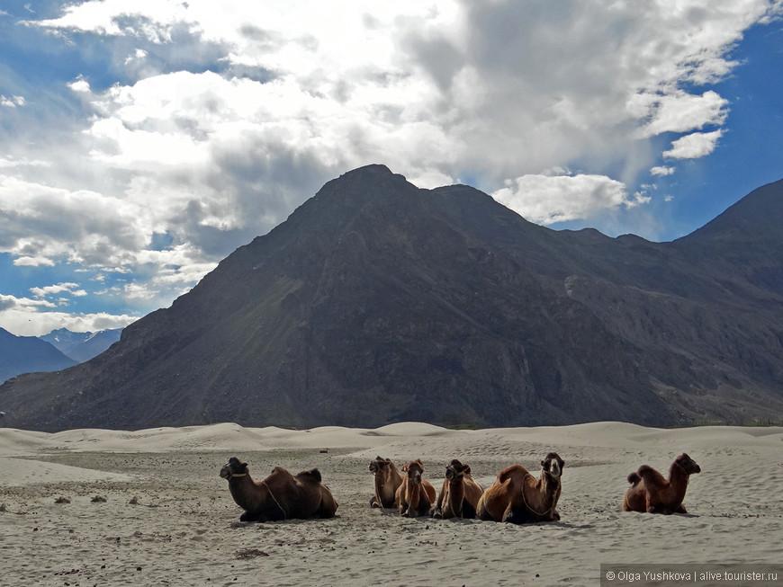 И вот, наконец, самая высокогорная пустыня в мире... С самыми высокогорными верблюдами )))))  Здесь около 3500 м над уровнем моря...