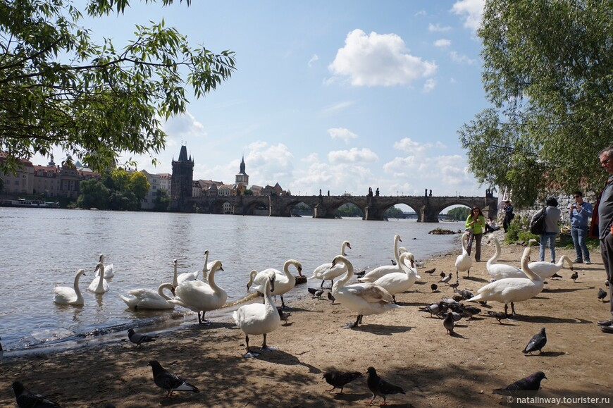 Покормить лебедей можно возле музея Кафки