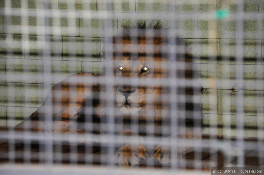 10. К сожалению, лев не получился на фото. В вольере сидят лев и львица, когда он подаёт голос сразу становится понятно почему лев – царь зверей. Все животные в зоопарке сразу замолкают, дети на экскурсии начинают плакать, а всё вокруг трясется.