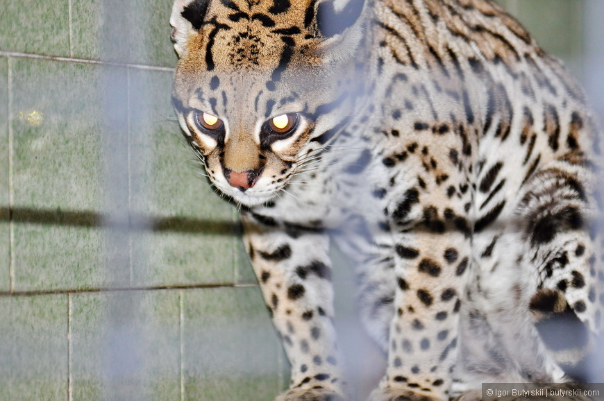 11. А это чудесный оцелот, такой мини-леопард.