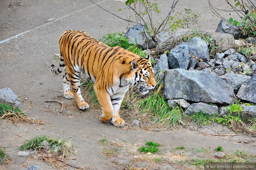 29. Тигр не сидит в клетке с другими кошачьими, он гуляет сам по себе.