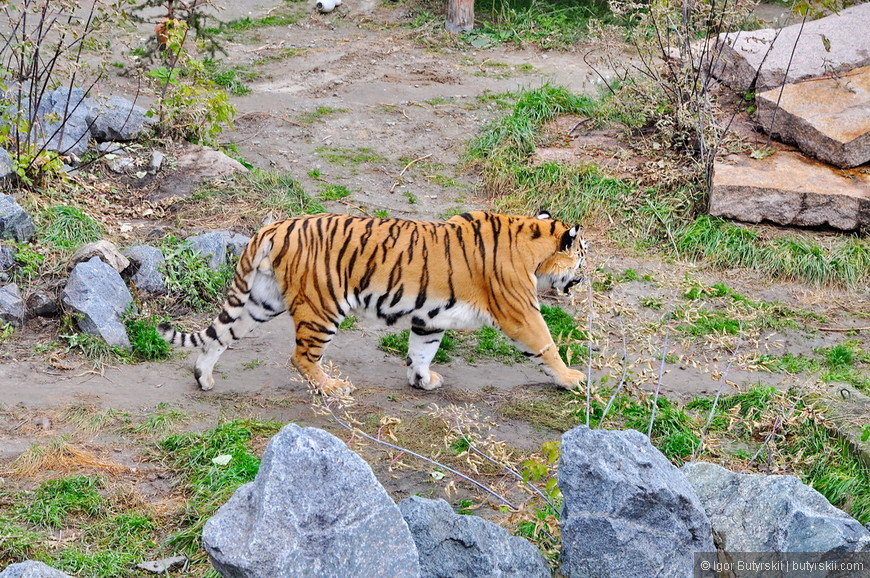 30. Тигр выглядит намного умнее своих сородичей и немного огрызается на зрителей.