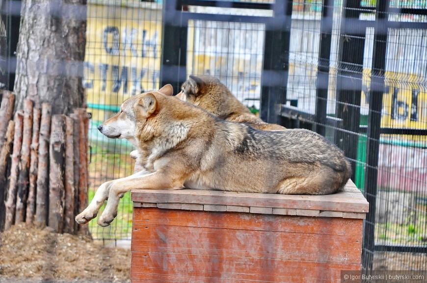 36. Волки почему-то мне больше напомнили простых собак, по телевизору они выглядят более брутальными.