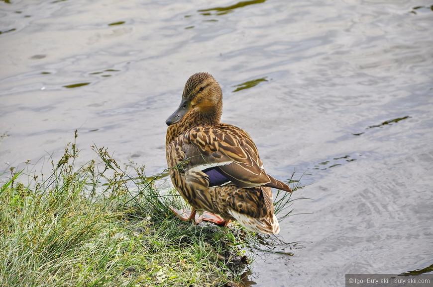07. Даже дикие утки плавают, понятно почему город признан самым благоустроенным.