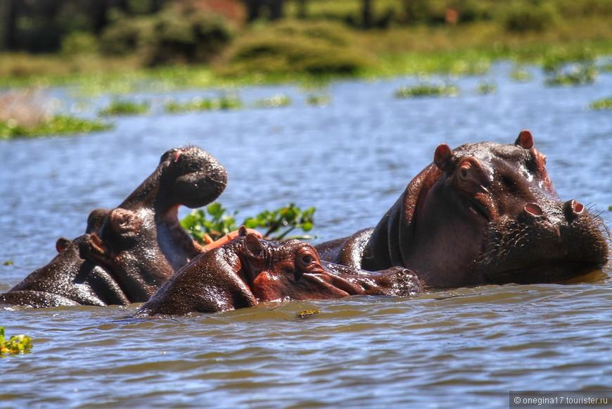 Озеро Найвашу. Вотчина бегемотов. Всплывают неожиданно, хорошо если не рядом с лодкой. Клыки бегемотов - страшное оружие. Шрамы, полученные в драке - жуткое зрелище.