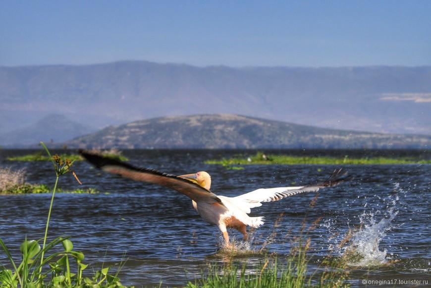Озеро Найвашу. Имеено здесь можно рассмотреть, как взлетают птицы, разбегаясь по воде и помогая себе роскошными крыльями...