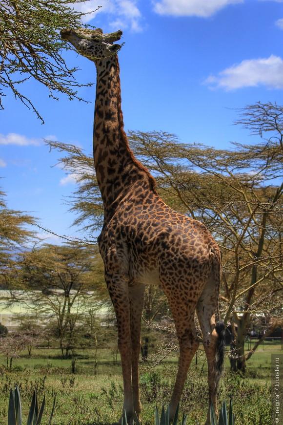 Масаи-Мара. Жирафы все разные, перепутать их сложно - рисунок на их шкуре различен и не повторяется у двух жирафов.