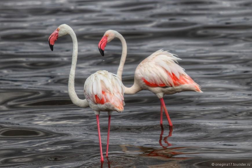 Фламинго на озере Накуру. В природе их оперенье не такое розовое. Интенсивность цвета зависит от количества рачков, съедаемых птицами. В зоопарках фламинго кормят специальным кормом, усиливающем окраску. Стоят птицы, как правило, на одной ноге, грея вторую под крылом или на теплом воздухе. Опущенные в воду обе ноги вызывают переохлаждение у птиц.
