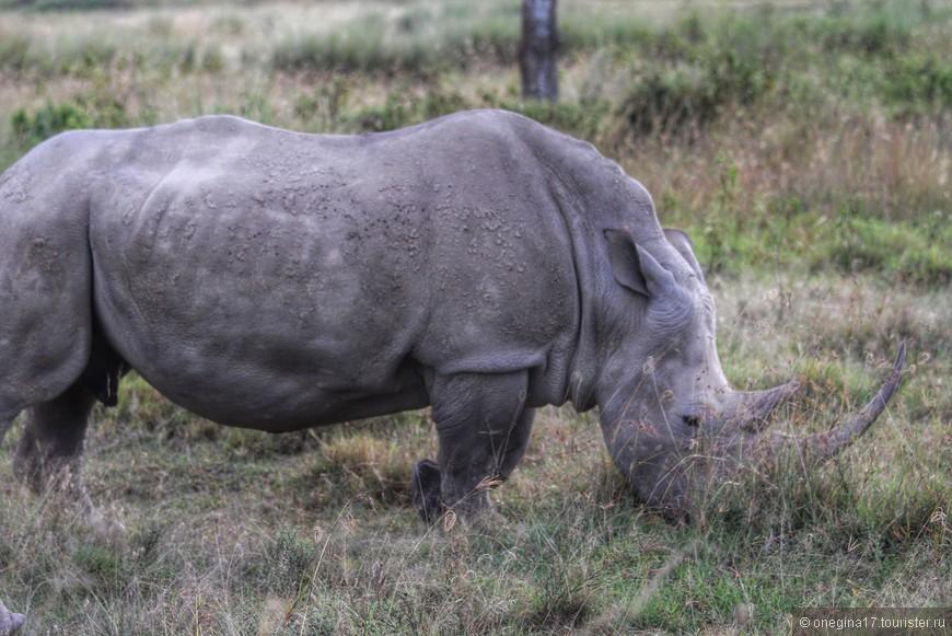 Озеро Накуру. Белый носорог. Большая редкость - живы всего 70 особей. Поджидать их нужно у воды, но встретиться с ними - редкая удача!