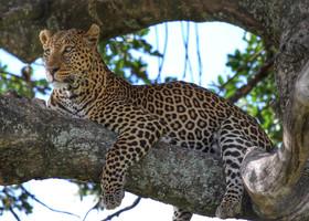 Масаи-Мара. Леопард. Грация этих кошек зашкаливает! Нам повезло увидеть их в невероятном количестве.