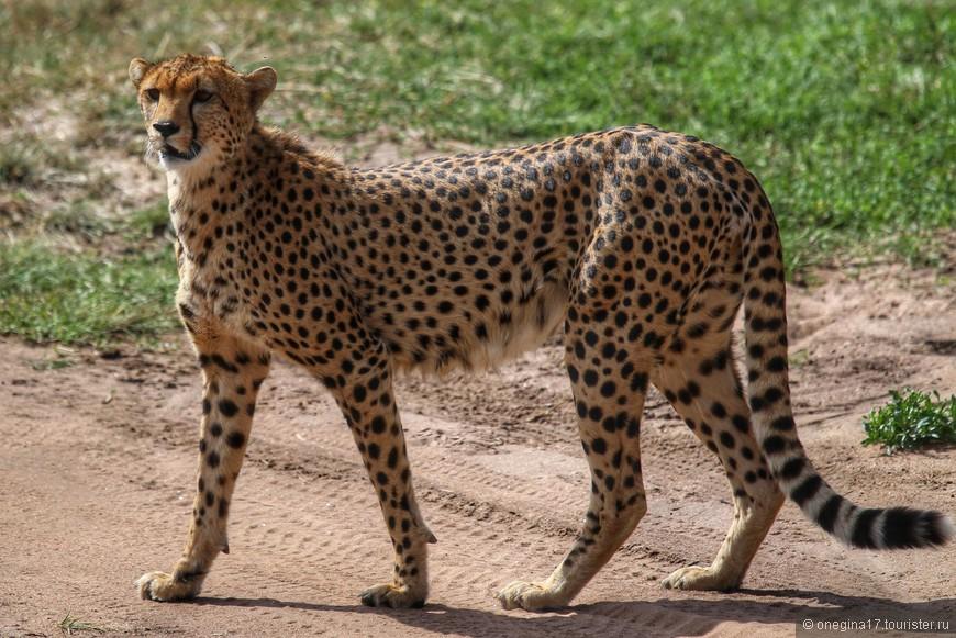 Масаи-Мара. Гепард. Вышел на дорогу. Мы стояли, пока гепард решал, куда ему идти и стоит ли вообще двигаться с места. Но зато он стоял так близко, что было слышно его дыхание.