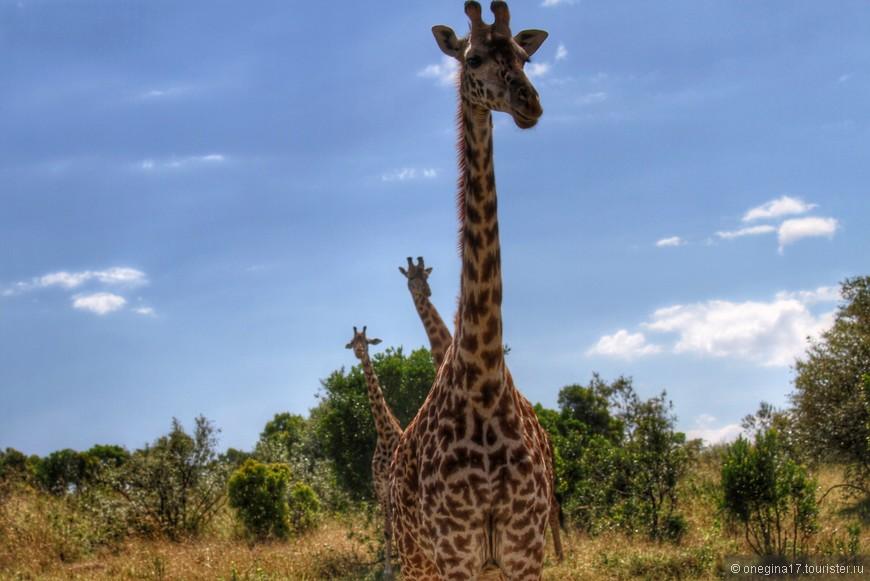 Масаи-Мара. Мы были не очень деликатны в своем любопытстве. Строгий папа-жираф был готов поставить нас на место, преподав уроки хорошего тона. Мы удрали, не дожидаясь крутых разборок...